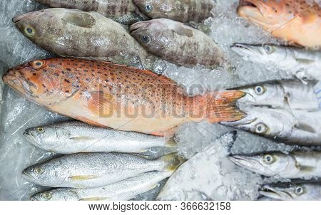 Fresh Red Grouper On Ice In The Fish Market. Red-banded Grouper. Seafood. Tasting Seafood From Thail