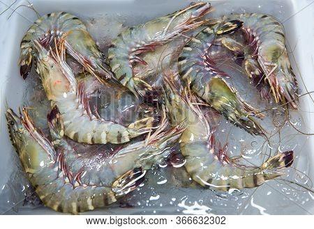Penaeus Monodon, Giant Tiger Prawn Or Asian Tiger Shrimp. Black Tiger Prawns. Freshly Caught Big Kin