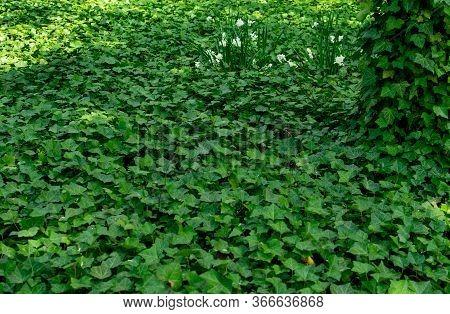Parthenocissus Tricuspidata, Boston Ivy Or Grape Ivy