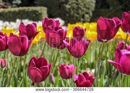 Closeup Of Yellow And Purple Tulips Flowers With Green Leaves In The Park Outdoor. Warm Jovial Sprin