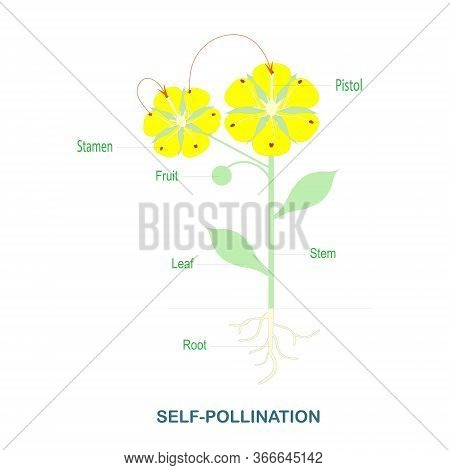 Self-pollination. Pollination Of Flowering Plants Scheme For Biology Botany Lessons, School, College