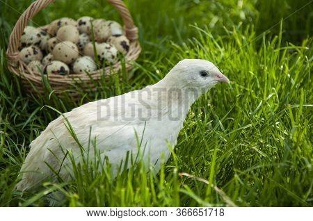 Beautiful Quail Bird And A Basket With Quail Eggs Close-up On The Green Grass In Summer. Quail Farm