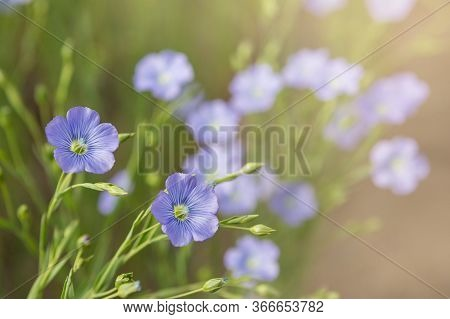 Blue Flax Flowers On A Farmers Field, Close-up , Selective Focus