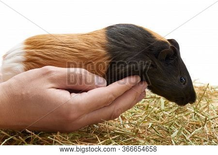 Guinea Pig Cavia Porcellus Is A Popular Pet. The Pet Sits In The Hands Of A Man On A Background Of H