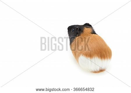 Guinea Pig Cavia Porcellus Is A Popular Pet. Young Tri-color Guinea Pig On A White Background. Isola