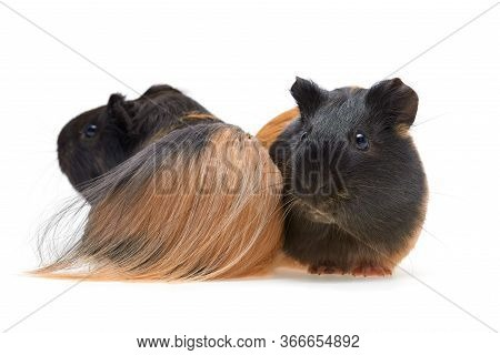 Guinea Pig Cavia Porcellus Is A Popular Household Pet Two Beautiful Young Guinea Pigs Long-haired Gu