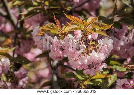 Blossoming Pink Sakura Close Up. Beautiful Sakura Blossom. Tender Spring Picture. Beautiful Pink Bac
