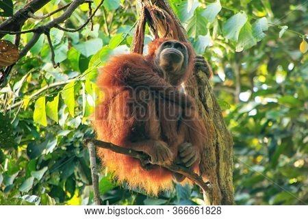 Female Sumatran Orangutan With A Baby Sitting In A Tree, Gunung Leuser National Park, Sumatra, Indon