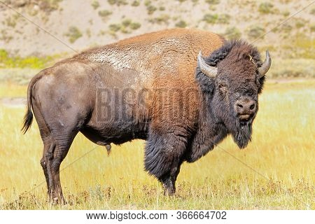 Male Bison Standing In Yellowstone National Park, Wyoming, Usa