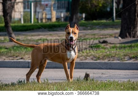 American Staffordshire Terrier In A Green Grass Lawn. Breed American Staffordshire Terrier.