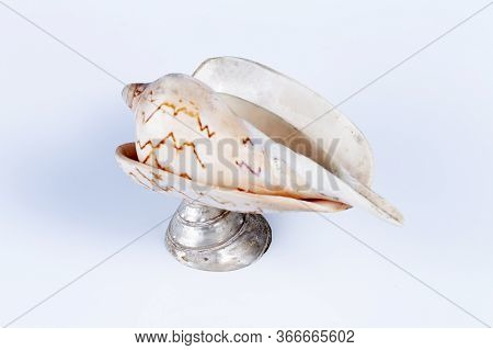 Conch Cockleshell Isolated On The White Background