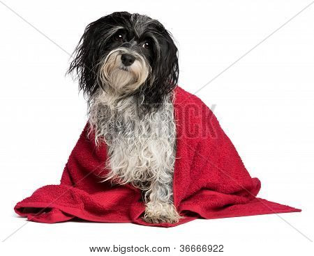 A wet black and white havanese dog after the bath with a red towel isolated on white background poster