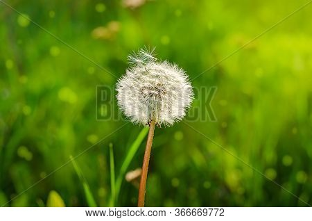 Dandelion On Blurred Green Grass Background. Selective Focus. Tranquility Concept