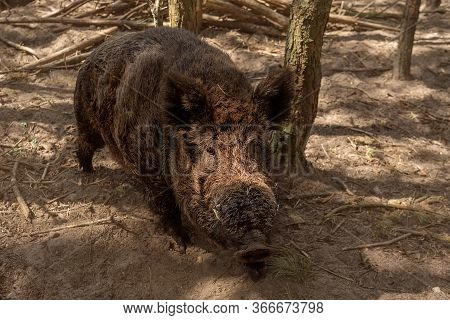 The Wild Boar In The Forest. Close-up.