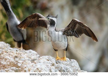 Spotted Shag Spreading Wings, Taiaroa Head, Otago Peninsula, New Zealand. It Is Endemic To New Zeala