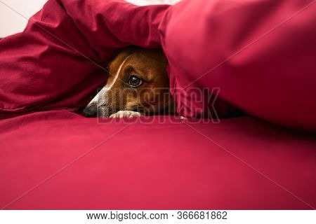 A Dog With A Sad Look Hid Under A Red Blanket, A Sick Dog, Jack Russell Terrier