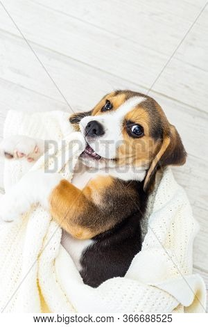 Cute Puppy  Beagle  Lies In Blanket At Home. Vertical Format