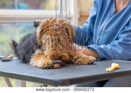 Grooming Puppy Of Welsh Terrier Dog By Professional Groomer While The Dog Is Adorable Licking Groomi