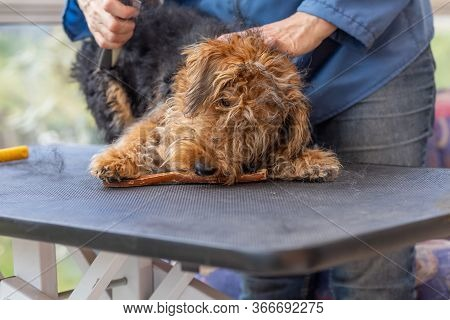 Grooming Puppy Of Welsh Terrier Dog By Professional Groomer While The Dog Is Adorable Biting Groomin