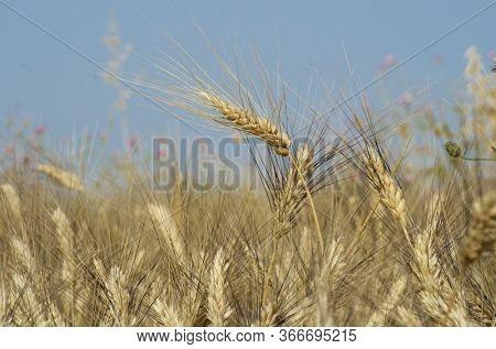 ear of wheat in Sicily