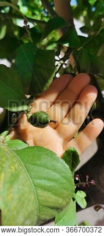 Growing Green Lemon On A Branch Against The Background Of A Human Hand And Leaves Of A Lemon Tree