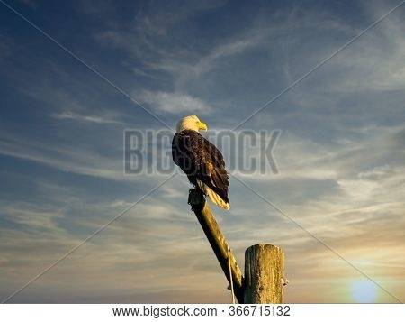 Bald Eagle Perching On The Pole In Sidney Bc, Vancouver Island