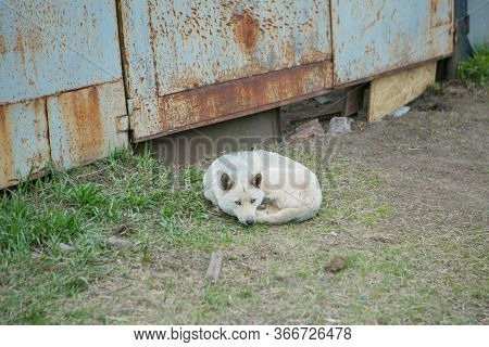 The Dog Is Curled Up On The Street. A Stray Animal Is Warming Itself. Culling Of Dogs Suffering From