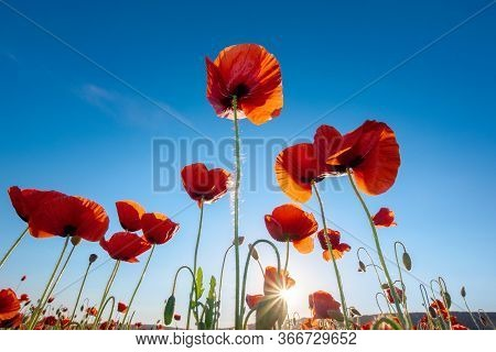 Red Poppy On The Blue Sky Background. Wonderful Nature Scene
