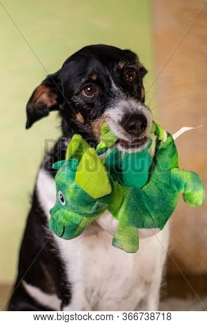 Dog Black And White Posing In Background Of Light Colors With Toy