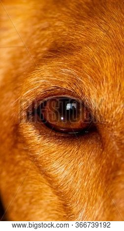 Close-up Of Eye Of A Brown Dog