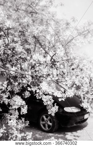 Car Under The Apple Tree With Blossoms In Spring. Black White.