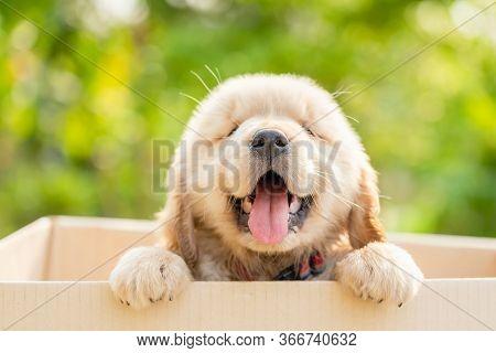 Cute Puppy (golden Retriever) Standing In Cardboard Box On Green Nature Blur Background. Animal Gree