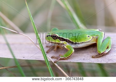 Beautiful European Tree Frog (hyla Arborea Formerly Rana Arborea) On Reeds, Small Amphibian From Eur