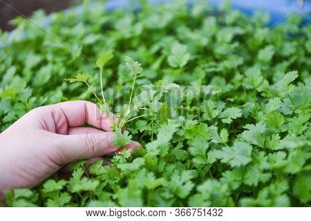 Coriander Plant Leaf On Hand Picking In The Graden Nature Background / Green Coriander Leaves Vegeta