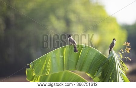 Birds On Banana Tree / Red-whiskered Bulbul On Nature