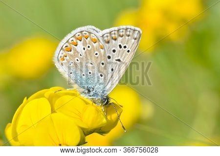 Common Blue Butterfly - Polyommatus Icarus. Little Blue Butterfly On Wild Flower