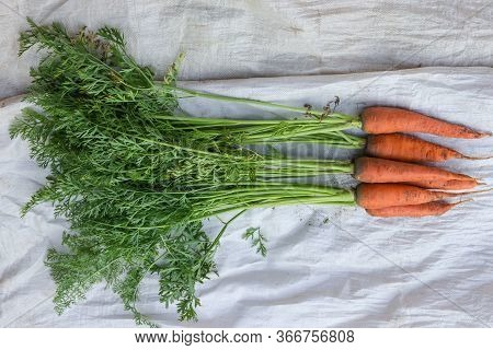 Freshly Dug Unwashed Carrots With Haulm Lie On The Synthetic Burlap