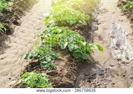 Young Potato Bushes Landed In A Row On A Farm Field. Agriculture And Crop Vegetables Production. Agr