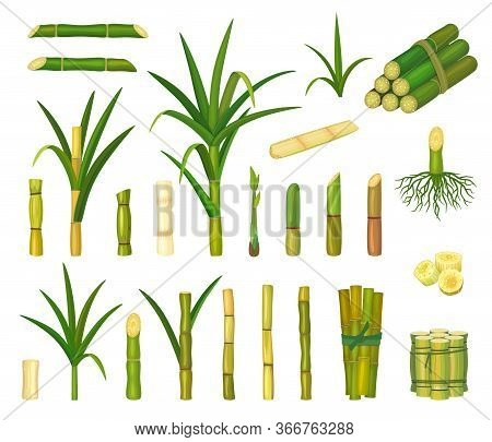Sugar Cane Isolated Cartoon Set Icon. Vector Cartoon Set Icon Sugarcane. Vector Illustration Sugar C