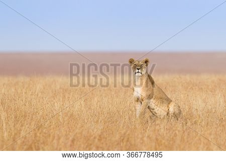 One Solitary Lioness Out On The Open Grassland Of The Maasai Mara In Kenya