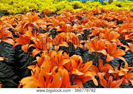 Solar Paints. Flowerbed With Beautiful Flowers. Many Bright Orange Lilies With Delicately Curved Pet