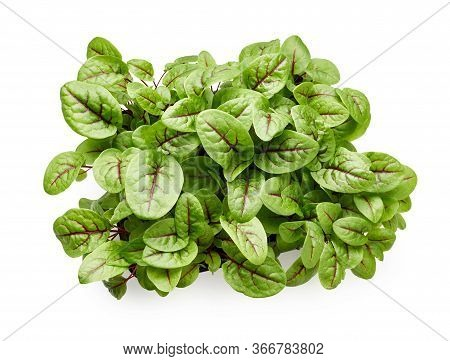 Fresh Micro Green Sorrel Leaves. Red Veined Sorrel. Top View.