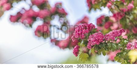 Panoramic View To Spring Background Art With Beautiful Pink Hawthorn Blossom At The Blue Sky. Beauti
