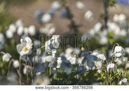 Spring Background Art With White Blooming Snowdrop Or Wood Anemone (anemone Sylvestris ) Flowers. Be