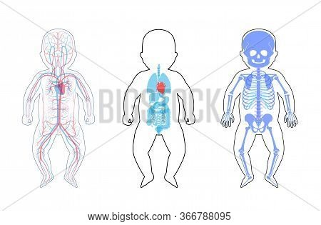 Baby Skeleton, Internal Organs, Circulatory System Anatomy. Anatomical Structure Of Human Newborn Ch