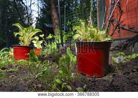 Pots With Seedling Hosta. Planting Plant In The Park, Garden, Backyard.