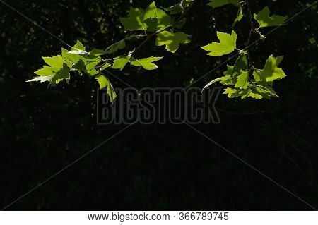 Norway Maple Leaves And Sunrays In Morning Forest