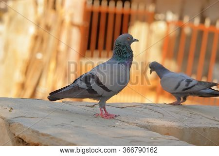 A Rock Feral Dove Standing On Water Pond In Summer,dove Pigeon Bird Background Themes,pigeon Or Dove