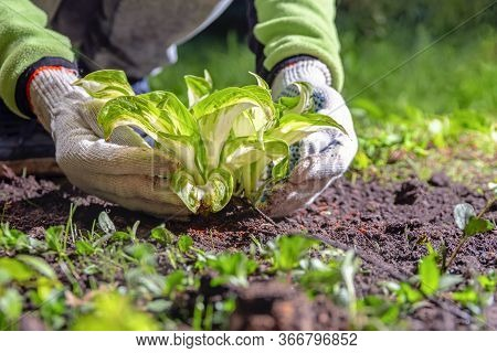 White-gloved Hands Lift The Leaves Of Hosta Seedling. Gardener Plants Young Plant In The Garden, Lev