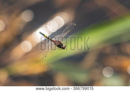 A Beautiful Large White-faced Darter Dragonfly (leucorrhinia Pectoralis) In Flight Over Water